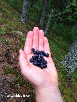 alltomblabar.se plockar blåbär i Dalarna