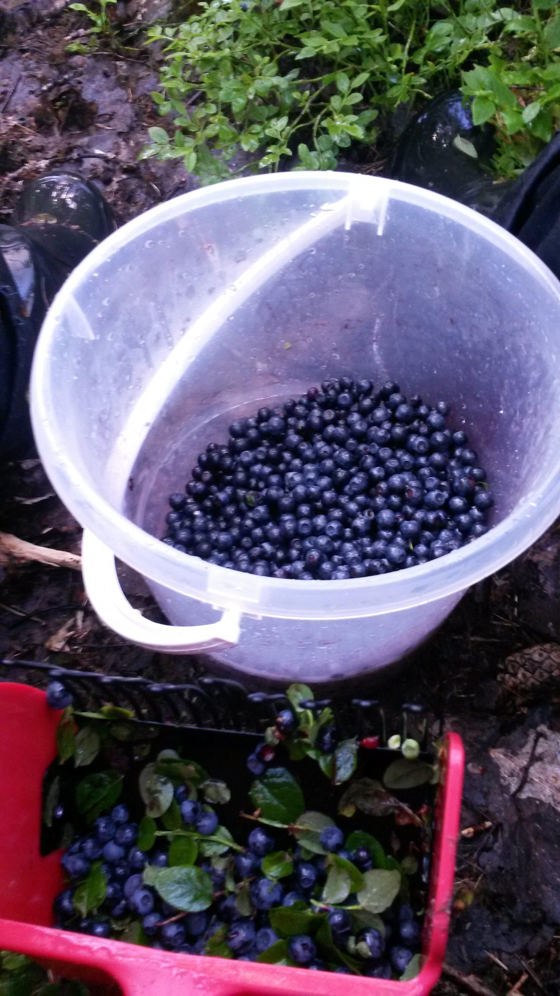 I blåbärsskogen